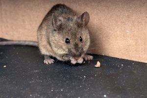 a huge rat ~ need termite and pest control